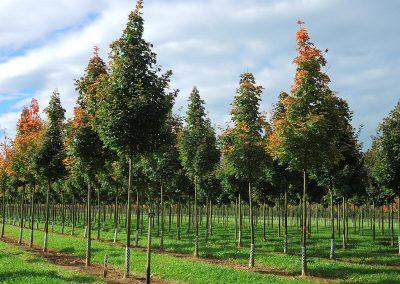 Acer platanoides Columnare Dila