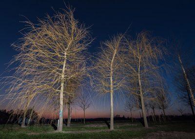 Salix alba Tristis
