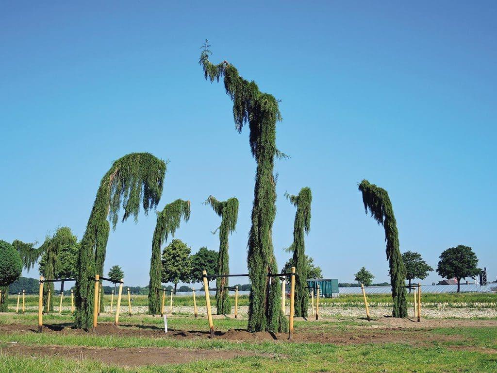 Sequoiadendron giganteum Pendulum