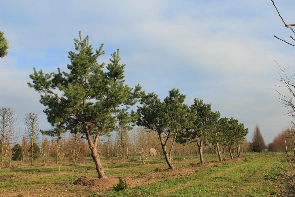 Pinus sylvestris Windbraut