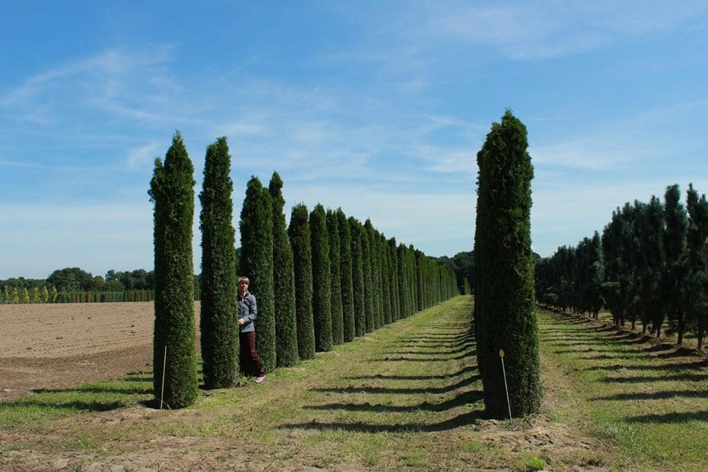 Thuja occidentalis Smaragd Toskanaform